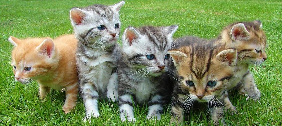 Arnaques aux petites annonces - Vente de chatons
